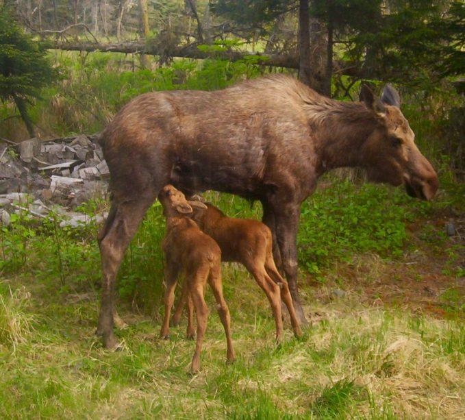 A moose nursing her calves